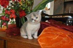 Foto 2 BKH - Kitten geboren am 02.08.2015