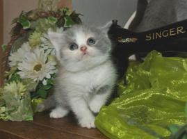 Foto 3 BKH - Kitten geboren am 02.08.2015