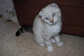 Foto 4 BKH  Scottish Fold