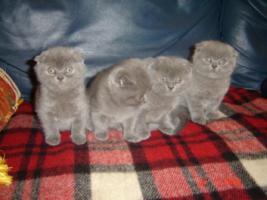BKH / Scottish Fold Babys zum Weihnachten !
