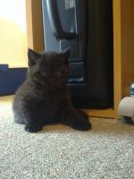 BKh Kitten suchen ein liebevolles zuhause