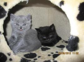 Foto 2 BKh Kitten suchen ein liebevolles zuhause