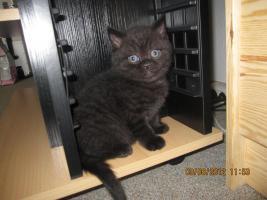 Foto 3 BKh Kitten suchen ein liebevolles zuhause