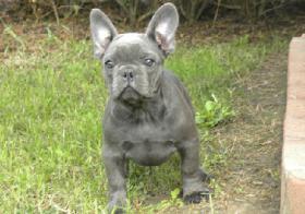 Foto 3 BLAUE französische Bulldogge Welpen