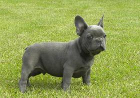 Foto 4 BLAUE französische Bulldogge Welpen