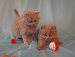 Foto 3 BLH Kitten, Highlander Kitten mit Stammbaum 1a, Elter Europa Champion
