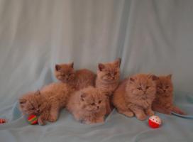 Foto 6 BLH Kitten, Highlander Kitten mit Stammbaum 1a, Elter Europa Champion
