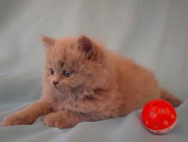 Foto 9 BLH Kitten, Highlander Kitten mit Stammbaum 1a, Elter Europa Champion