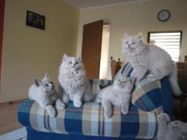Foto 4 BLH Kitten, Highlander Kitten mit Stammbaum 1a, Elter Europa Champion