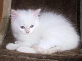 BLK-BLH Kitten