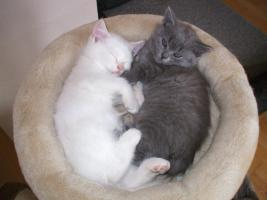 Foto 2 BLK-BLH Kitten
