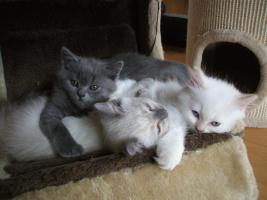 Foto 3 BLK-BLH Kitten