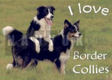 BORDER COLLIE Auto - Aufkleber