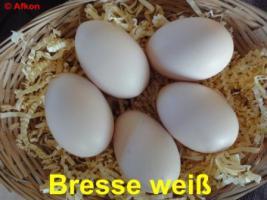 BRUTEIER von Bresse weiß (seltene Hühnerrasse)
