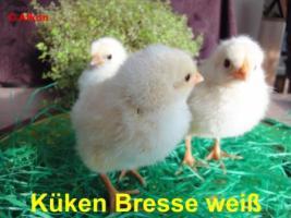 Foto 2 BRUTEIER von Bresse weiß (seltene Hühnerrasse)