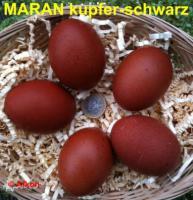 Foto 3 BRUTEIER von Bresse weiß (seltene Hühnerrasse)