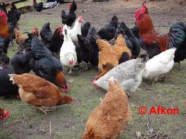 Foto 2 BRUTEIER von meiner bunten Hühnerschar