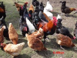 Foto 3 BRUTEIER von meiner bunten Hühnerschar