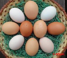 Foto 4 BRUTEIER von meiner bunten Hühnerschar