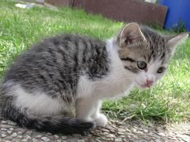 Foto 4 Baby-K�tzchen, Grau-Wei�, fast 2 Monate alt, zu Verschenken! Stubenrein!
