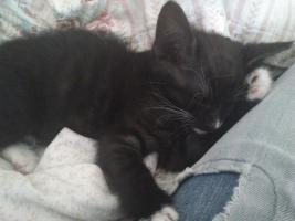 Foto 2 Babykatze fast 9 Wochen wegen allergie abzugeben