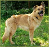 Baileys, Golden Retriever-Collie-Mix-R�de, 15 Monate
