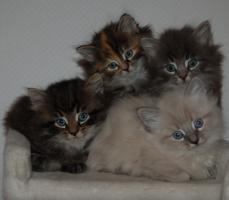 Bald gibt es wieder Sibirische Katzen-Neva Masquerade Babys :)