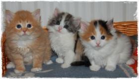 Foto 2 Bald gibt es wieder Sibirische Katzen-Neva Masquerade Babys :)