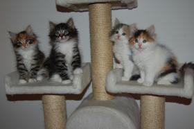 Foto 3 Bald gibt es wieder Sibirische Katzen-Neva Masquerade Babys :)
