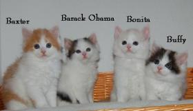 Foto 4 Bald gibt es wieder Sibirische Katzen-Neva Masquerade Babys :)