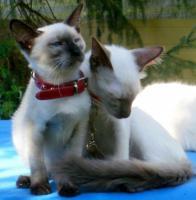 Foto 3 Balinesen und Siam Kitten