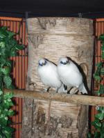Balistar Zuchtpaar abzugeben
