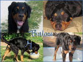 Balou - Berner Mixrüde - 6 Monate, sucht seine Familie