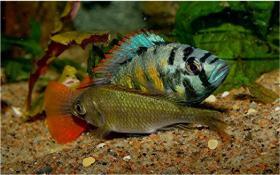Barsche - Haplochromis sp. CH44 Thick Skin