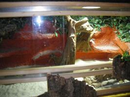 Bartagame mit nett eingerichtetem Holzterrarium