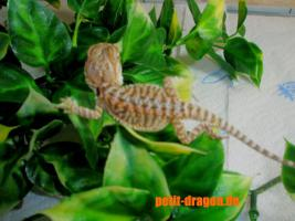Bartagamen Babys Citrus/Orange x Het. Translucent