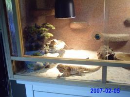 Bartagamen Pärchen mit Terrarium Komplett
