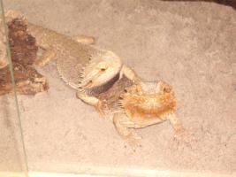 Foto 5 Bartagamen rot Hethypo