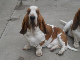 Foto 2 Basset hound Artagnan