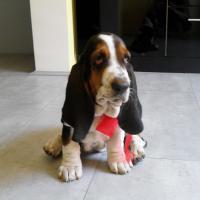 Basset hound Barbara