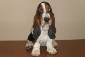 Foto 3 Basset hound Barbara