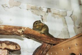 Baumstreifenhörnchen 9 Wochen alt