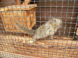 Baumstreifenhörnchen (Tamiops Swinhoei)