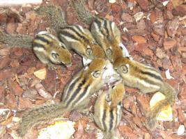 Foto 2 Baumstreifenhörnchen (Tamiops Swinhoei)