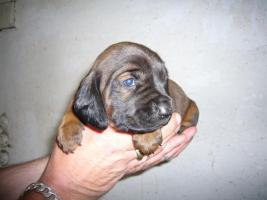 Foto 2 Bayerische Gebirgsschweißhunde - Welpen