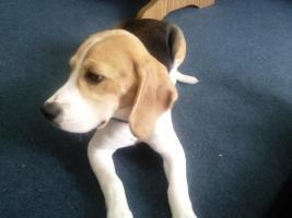 Beagle 5 Monate