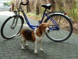 Beagle Hündin
