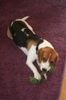 Beagle M�dchen