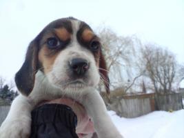 Beagle Welpe geb 18.12.2009