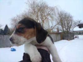 Foto 3 Beagle Welpe geb 18.12.2009